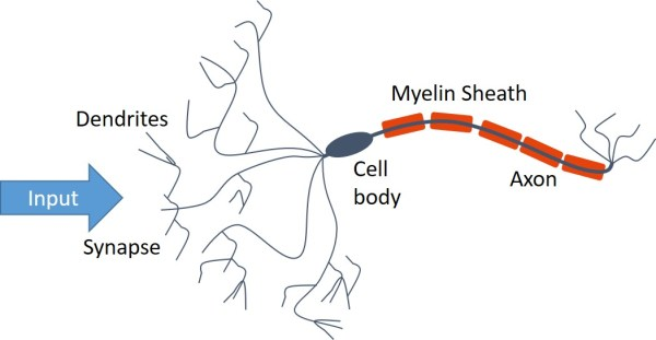 This weird fat is what makes you smarter, but less creative (Myelin)